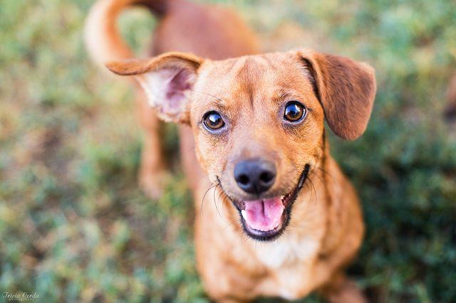 Chihuahua Mixed Tan Dog Smiling at the Camera