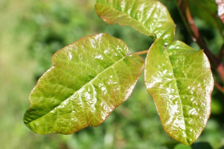 Poison Oak Leaf Stock Photo High Quality