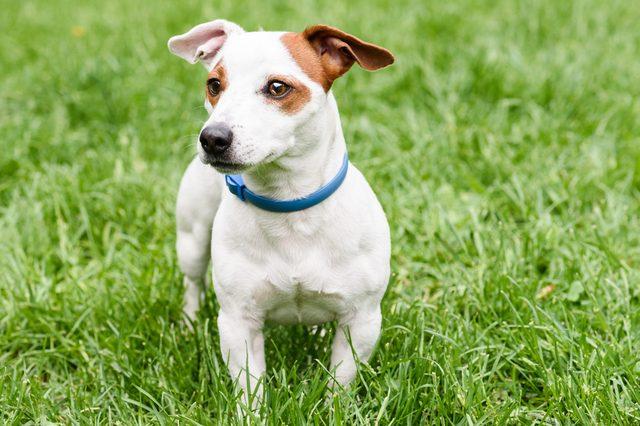 Blue anti tick and flea collar on cute dog