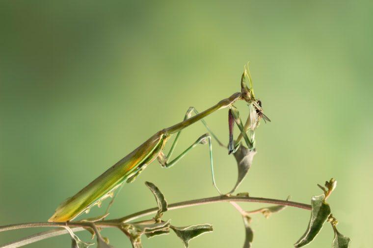 closeup empusa pennicornis eats a fly on grass on green background