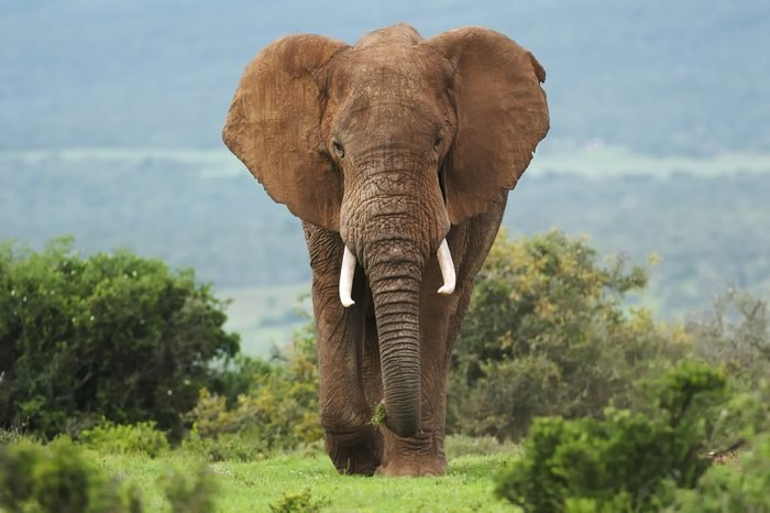 African Elephant, Loxodonta africana, bull, male, Addo Elephant Park, South Africa