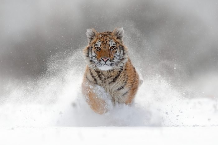 Tiger in wild winter nature, running in the snow. Action wildlife scene with dangerous animal. Cold winter in taiga, Russia. Snowflakes with beautiful Siberian tiger, Panthera tigris altaica.