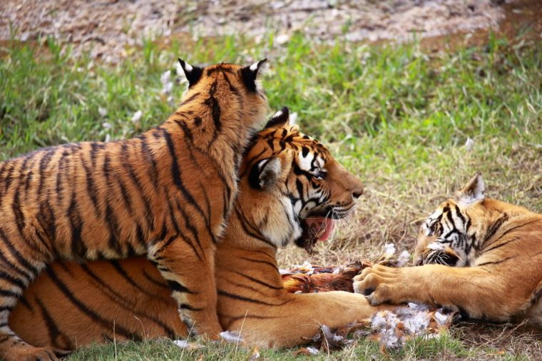 Ten endangered animals, the first class of national protected animals --- Southern China, China tiger daily