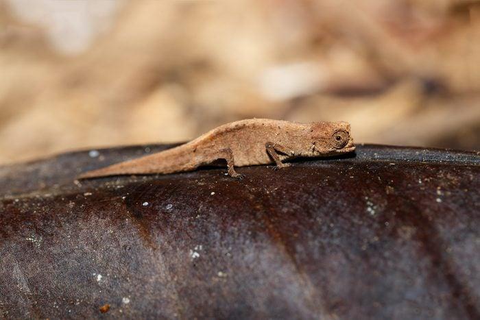 tiny chameleon Brookesia minima, micra (Brookesia minima), smallest known chameleon and among the smallest reptiles of the world. Nosy mangabe, madagascar wildlife and wilderness