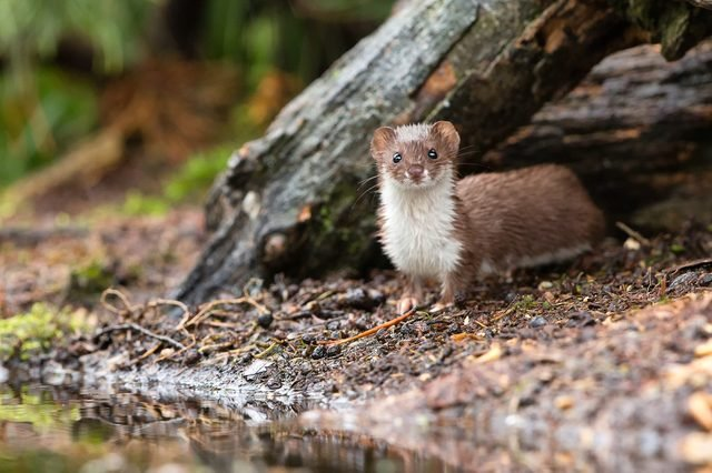 Least weasel hunting for mice