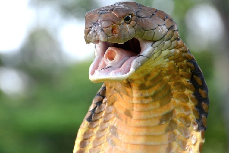 King Cobra (Ophiophagus hannah) from Malaysia.