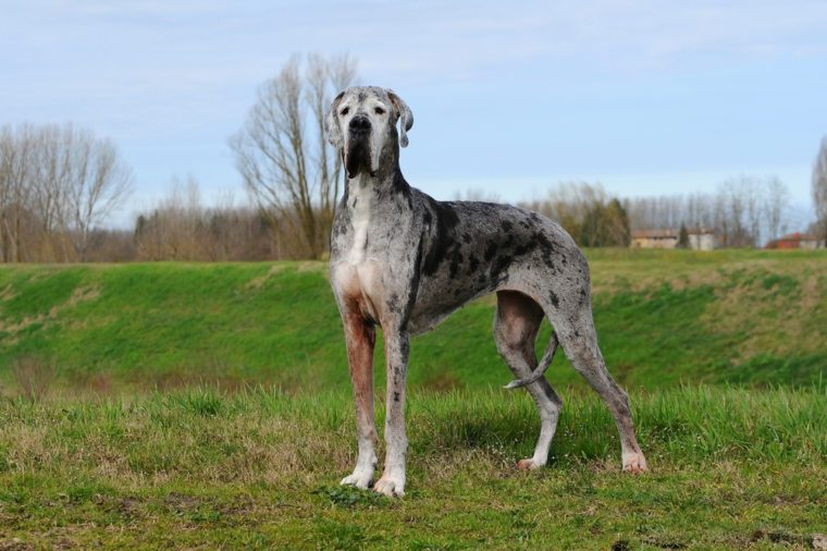 Portrait of Great Dane purebred dog in outdoor.