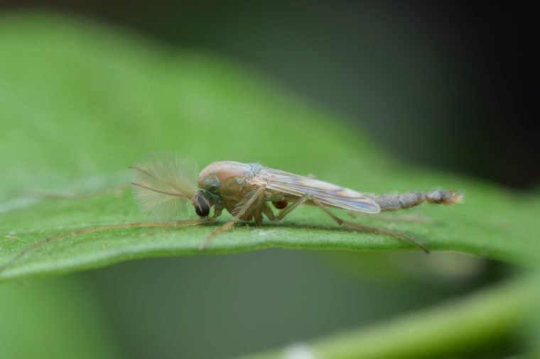 Gnat on green leaves.