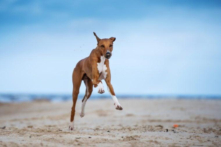 azawakh dog running on a beach