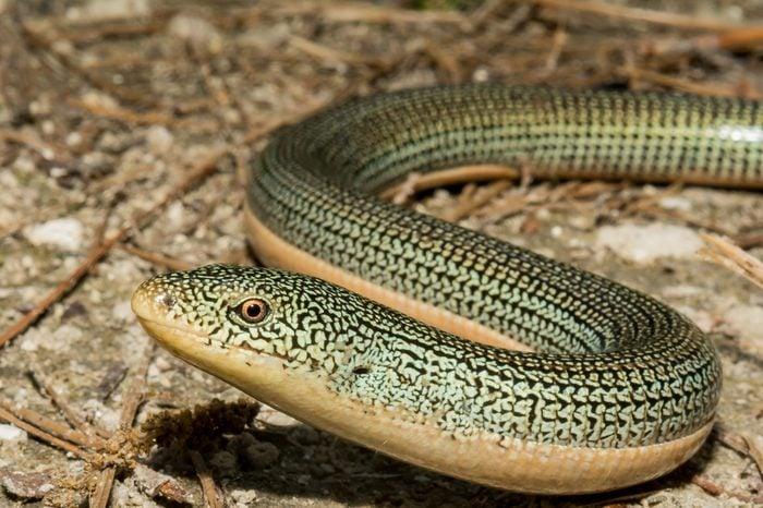 A close up of an Eastern Glass Lizard