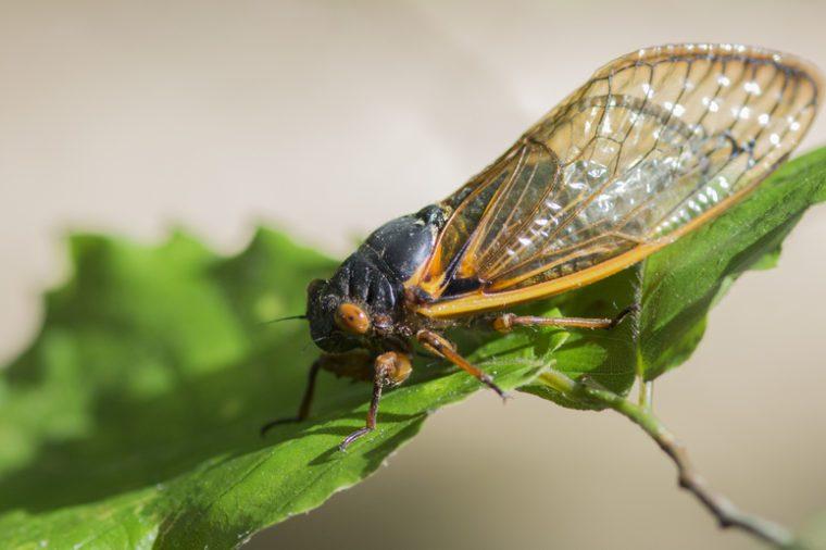 periodical cicada on leaf