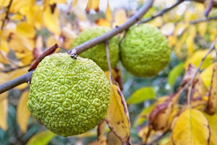 Maclura aurantiaca. Moraceae. (Hedge Apple)