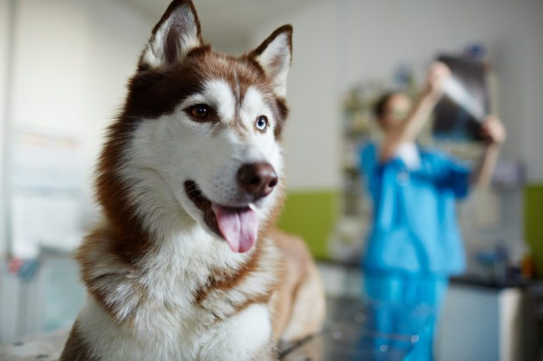 Sick husky dog on background of vet working
