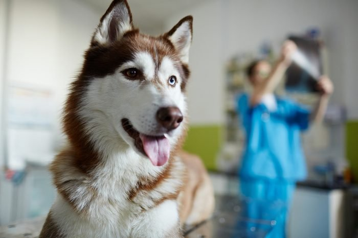 Sick husky dog on background of vet working