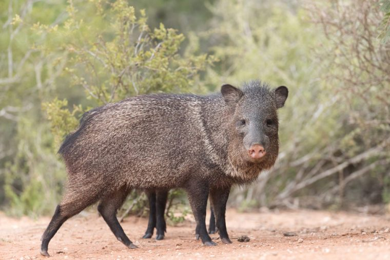 javelina or skunk pigs drinking from pond