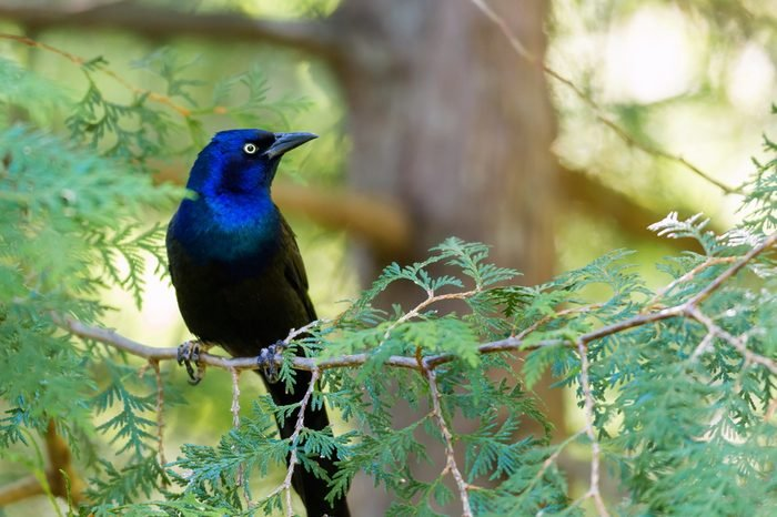 Common Grackle searching for food in a boreal forest in north Quebec, Canada.