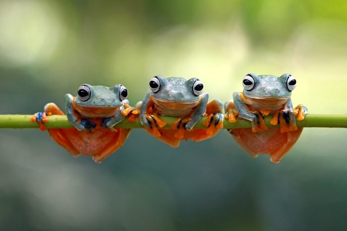 Tree frog, java tree frog, flying frog on branch
