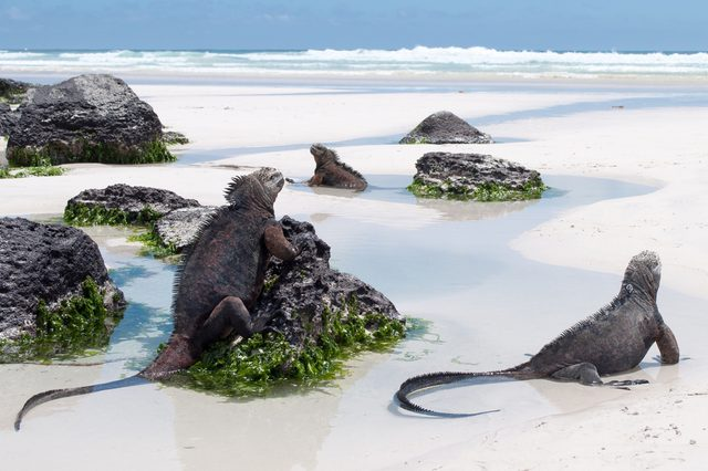 Galapagos Marine Iguanas on a beach, tortuga bay, on santa cruz island. Wild undeveloped beach with abundant wildlife.