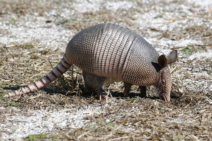 Young NIne-Banded Armadillo Looking for Insects