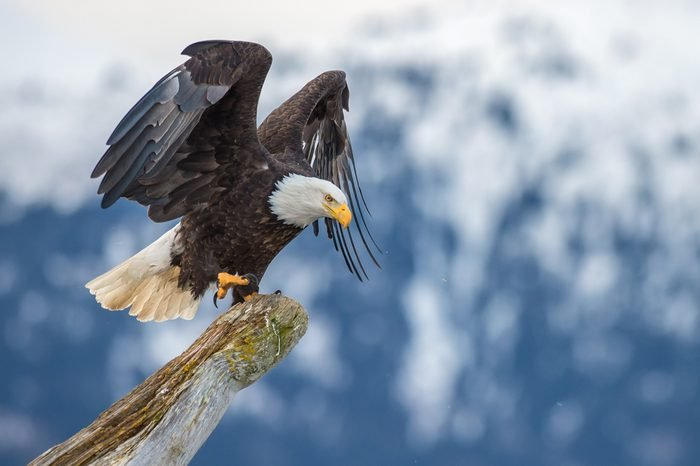 American bald eagle landing on tree snag against Alaska's Kenai region mountains