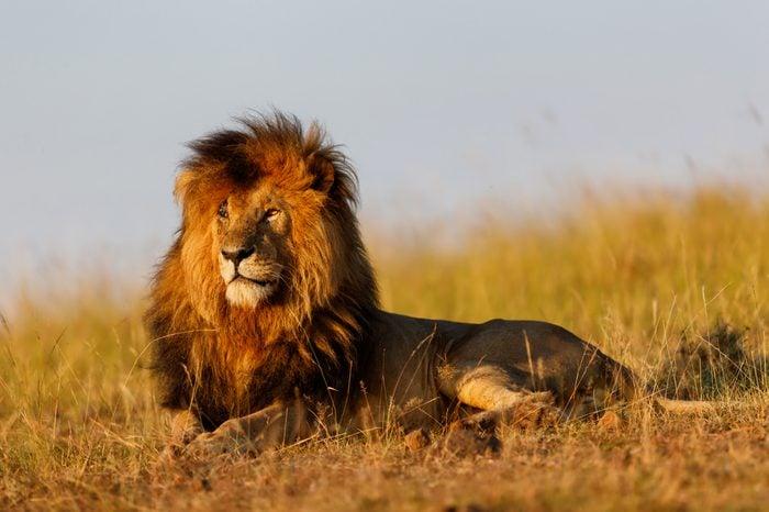 Famous Lion Scarface enjoys the first rays of sunshine in Masai Mara, Kenya