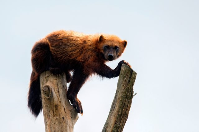 wolverine lying on the branch looking towards the camera with plain background, Gulo gulo, nice portrait of wolverine in captivity, wolverine facing camera with white background