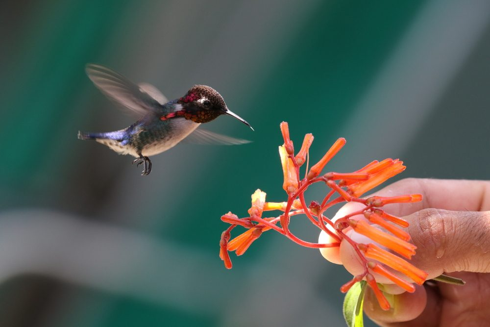 The smallest bird in the world - a Bee Hummingbird - drinks nectar from a plant held by a person. Taken in a Hummingbird Garden near Playa Larga, Cuba