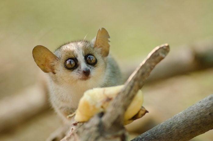 Cute reddish-gray mouse lemur, Microcebus griseorufus, feeding on banana