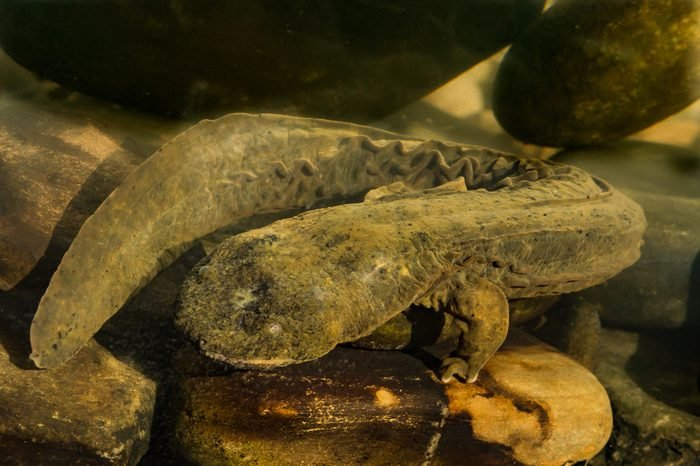An Eastern Hellbender crawling on the bottom of the creek foraging for crayfish.