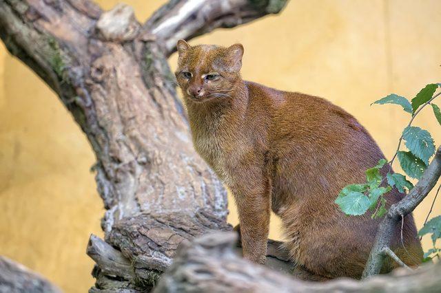 Jaguarundi on the wood