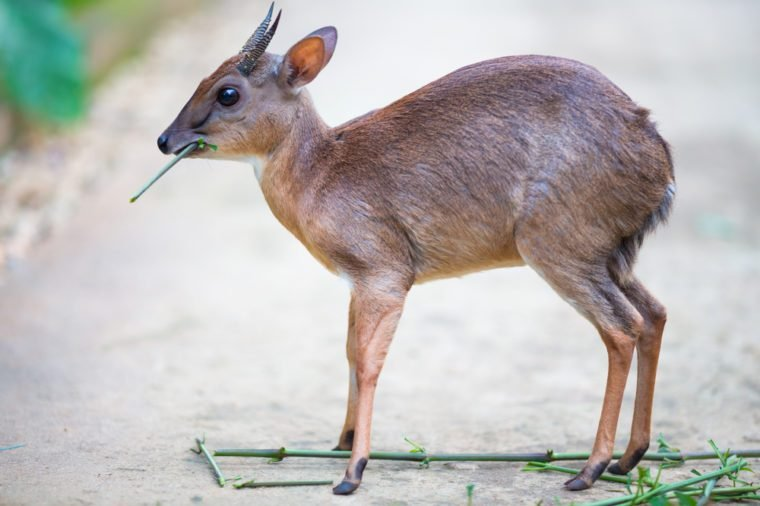 Little royal antelope neotragus pygmaeus in the natural wildlife. Baby deer.