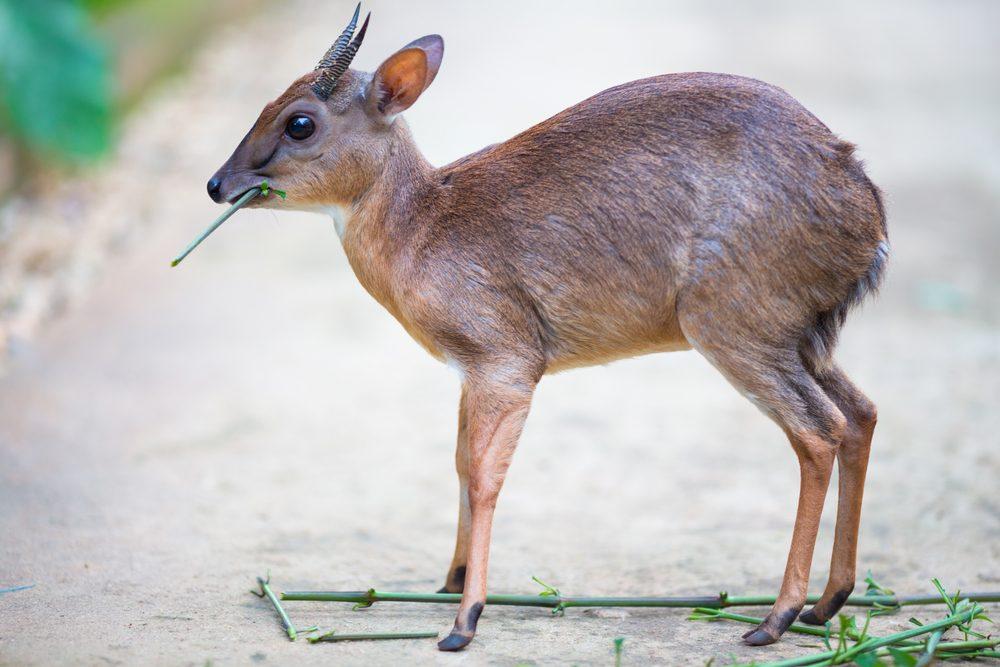 Little royal antelope neotragus pygmaeus in the natural wildlife. Baby deer.