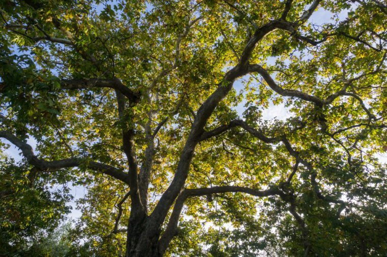 Western Sycamore branches and foliage (Platanus racemosa) seen from below, San Francisco bay, California