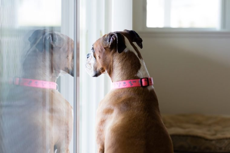 Female Boxer dog is stuck inside, staring out the sliding glass door, wishing she could go outside.