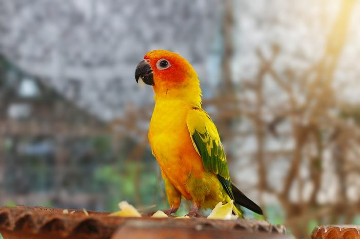 The court parrot ,colorful parrot ,beautiful parrots,sun conure