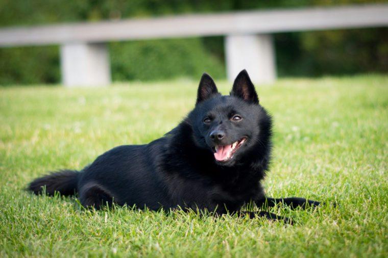 A photo of beautiful small black breed dog schipperke on fresh grass.