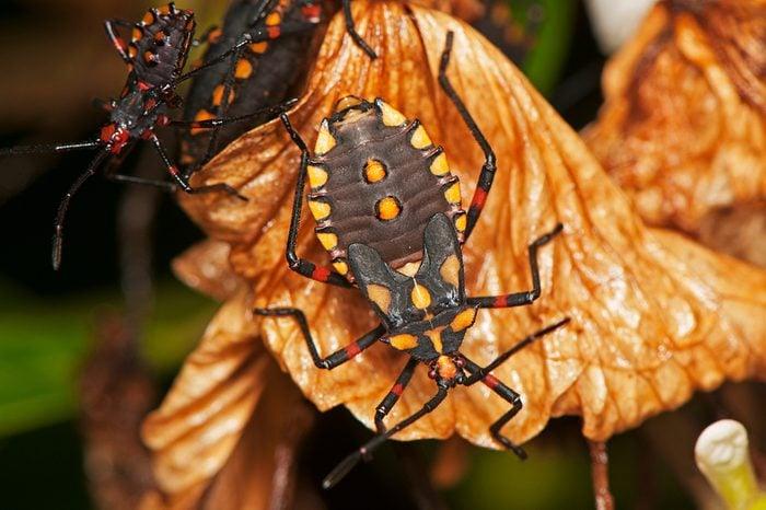 Conenose bugs, kissing bugs, assassin bugs, or vampire bugs