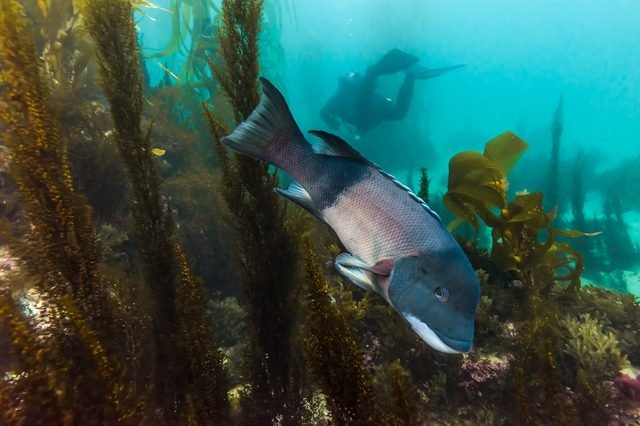 Sheepshead fish in kelp with Diver in background