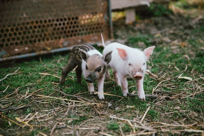 Funny cute little piglets at an animal farm
