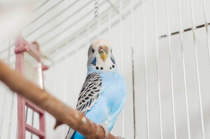 blue bird parrot