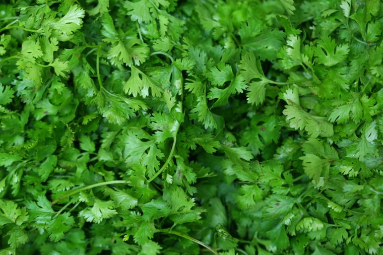 Coriander (cilantro or Chinese parsley) green leaves background