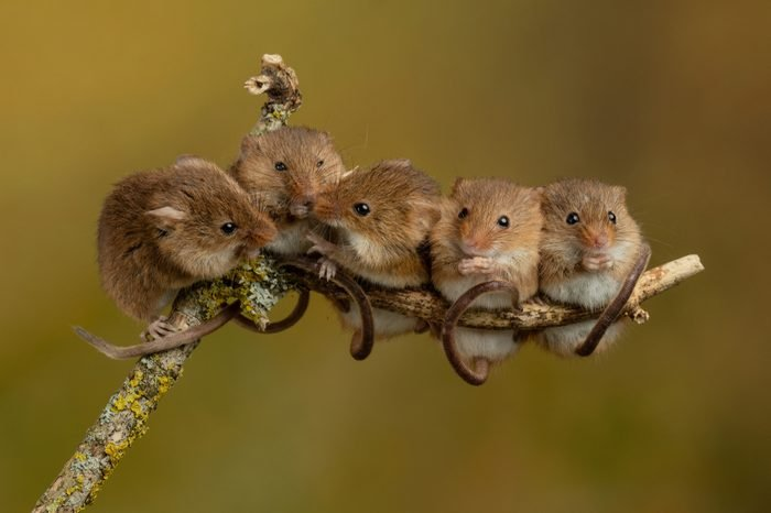 Harvest Mice Micromys minutus playing on twigs climbing Harvest Mouse cute rodents