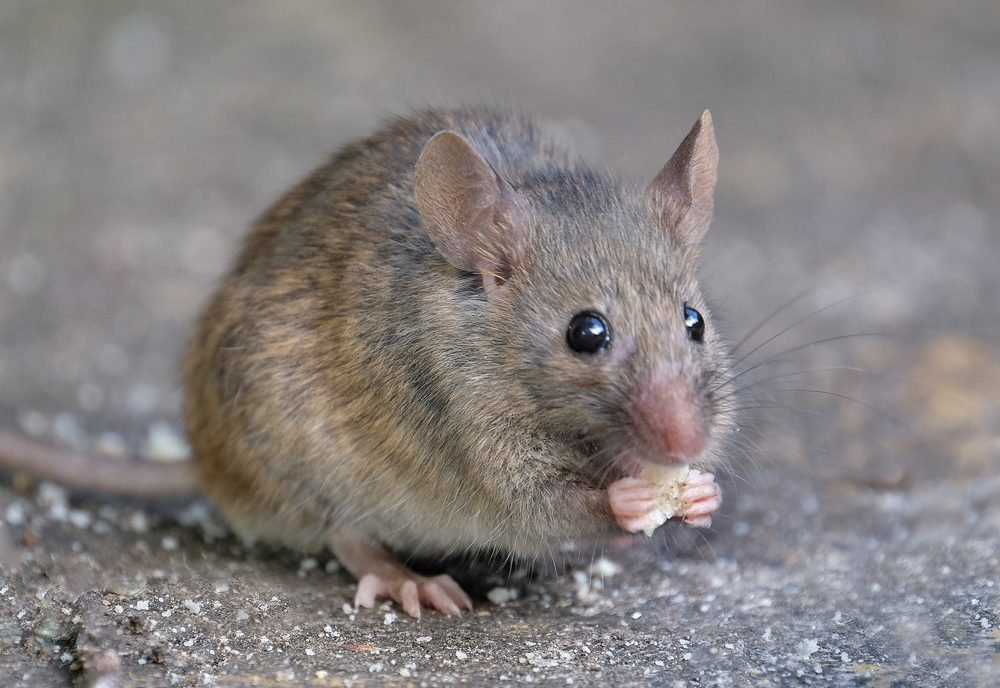 e0c731a374a Things Mice Don't Want You to Know | Reader's Digest