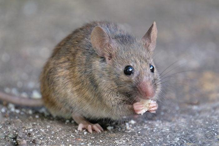 Mice in urban house garden feeding.