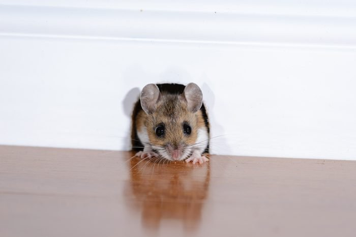 WHITE FOOTED MOUSE