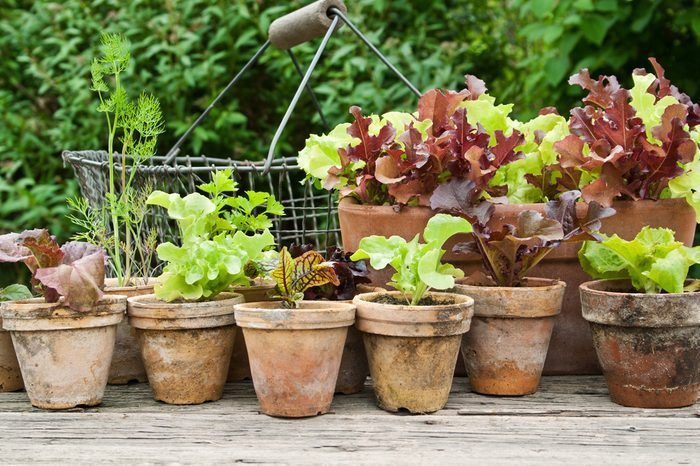 Plant pots with salad and herbs/planting/plant pots