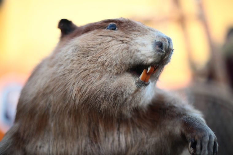Vintage mounted (taxidermy) beaver.