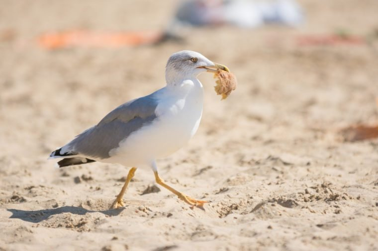 Mewa nad brzegiem morza wyciągnęła kawałek chleba z torby z jedzeniem z wczasowiczami