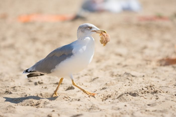 Seagull on the beach seaside dragged a piece of bread rolls from the bag of food with holidaymakers