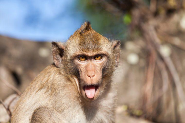 Portret małpy Rhesus z jęzorem wystaje